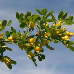 Caragana Arborescens Flower