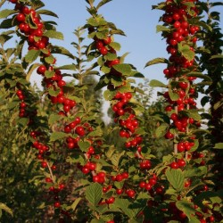Prunus Tomentosa Berries