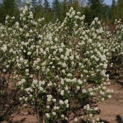 Amalanchier Alnifolia in full Bloom!