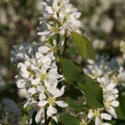 Amelanchier Alnifolia Flower