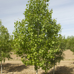 populus_tremuloides2