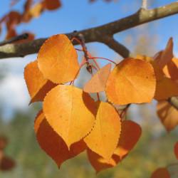 populus_tremuloides_fall3