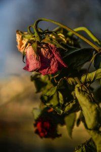 deadheading a dead flower